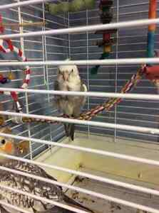 Wanted a hand tamed sun conure