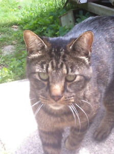 Male neutered declawed Tabby cat.. friendly