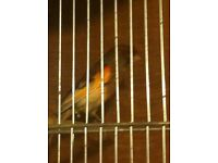Male canary
