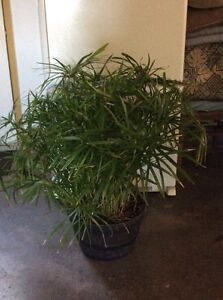 Real tropical papyrus plants