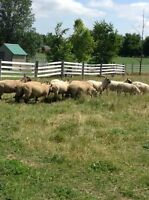 Ewes for sale - all registered ClunForest $300 each