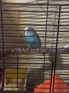 Cute budgies and finches for sale