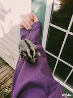 Sugar glider Joey's for sale