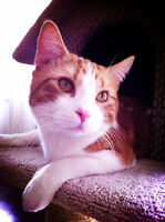 Cute Yellow Tabby cat needs a new ower