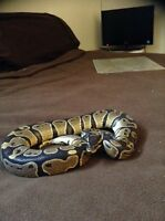 Male snake for sale