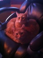 Brother and Sister Orange Tabby Pair