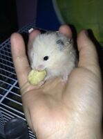 Male baby teddy bear hamster !