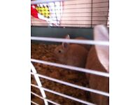 Ginger baby rabbit