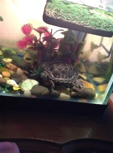 TURTLE AND TANK MUST GO $75 FOR ALL
