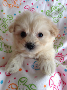 ADORABLE TINY TOY MALTI - POO PUPPIES