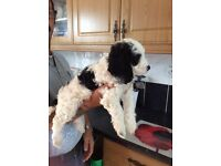 Stunning F1 cockerpoos puppies for sale £750
