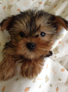 ADORABLE TINY TOY YORKIE POO PUPPIES......!!!!!