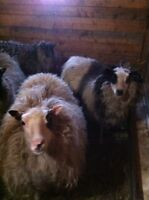 Ewes for sale-sheep