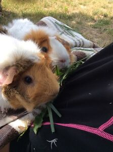 Guinea pigs - two amazing girls