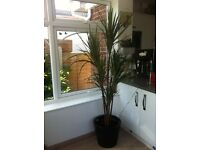 Artificial yucca 6ft plant/tree in large pot