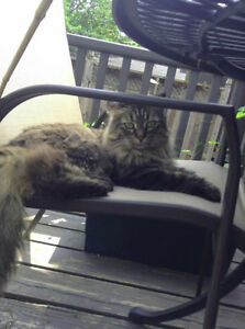 Long Haired Brown Female Tabby Missing London Ontario image 3