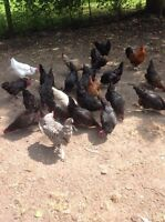28 Chickens For Sale - 2 Year Old Laying Hens