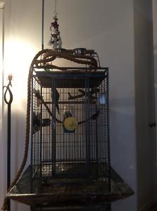 2 conures avec cage et accessoires