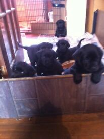 BEAUTIFUL BLACK LABRADOR PUPS