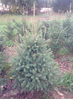 Spruce trees for landscaping. 3 - 5 ft