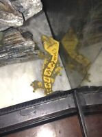 Male crested gecko for sale.