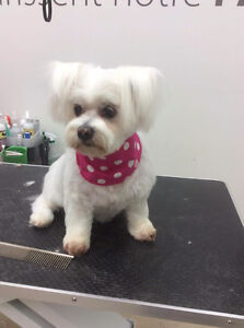 Bichon Frise grooming    specialist West Island Greater Montréal image 5
