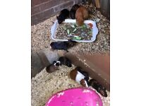 Guinea pigs baby's 3 girls 4 boys ONLY BOYS LEFT