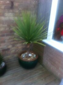 Large plant pot with yucca plant