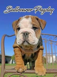 Australian Bulldog Pups Tamworth Tamworth City Preview