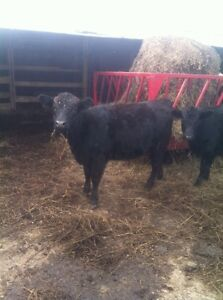 Angus heifers and bulls available for breeding or meat