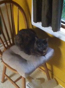 Myla - Lost Female Cat - Tortoiseshell Calico Shorthair