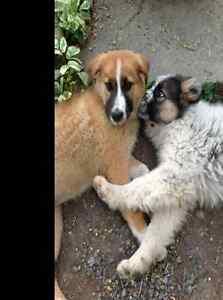 Maremma X Shepherd/Mastiff pups