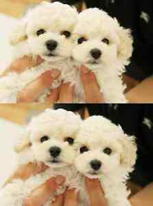 super cute! white tiny toy poodle ~