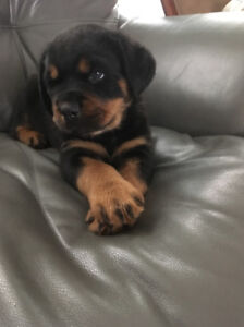 Chiots Rottweilers Allemand