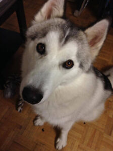Adorable Siberian husky for sale