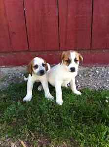 Lovely Great Pyrenees x puppies