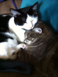 2 Friendly Indoor Adult Cats for Rehoming (Free) <3