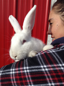 Flemish Giant/French Lops