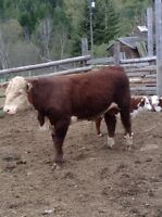 Purebred Polled Hereford Yearling Bulls