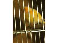 Hen canary