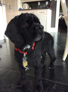 Cocker Spaniel in Need of a Loving Home
