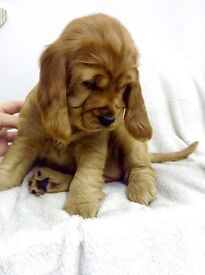 Deep Red Cocker Spaniel Puppies KC reg prcd-PRA clear