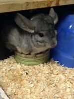 2 Chinchillas