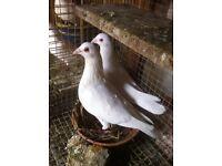Doves in London