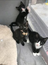 Kitten Cat For Sale Ready