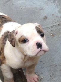America bull dog puppies for sale