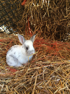 Friendly And Colourful Baby Rabbits For Sale