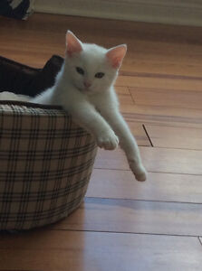 All white male cat -has been treated