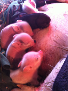 Potbellied Juliana Cross Piglets