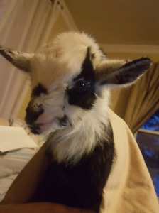 Looking for: someone to de-bud a pygmy goat